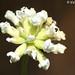 Erva-mata-pulgas // Prostrate Canary Clover (Dorycnium pentaphyllum)