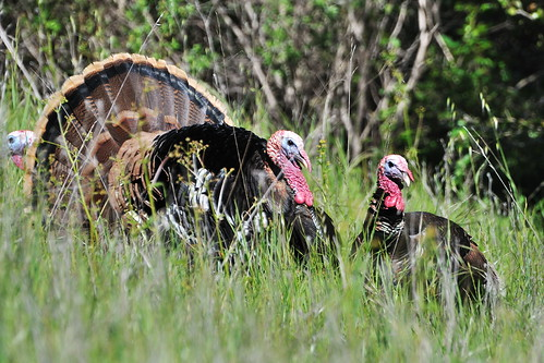 Tom Turkey and one of his hens | by donjd2