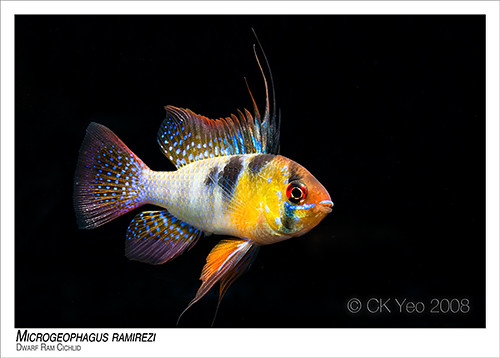 Microgeophagus Ramirezi Dwarf Ram Cichlid Ck Yeo Flickr