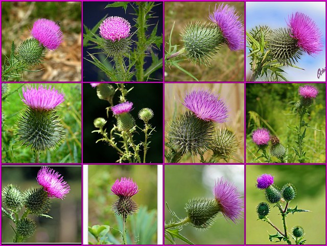 Next Tattoo Prochain Tatouage Spear Thistle Chardon Vulga Flickr