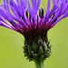 Cornflower Closeup