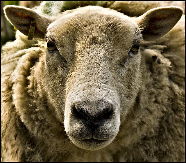 Mrs Sheep   by KTDEE....