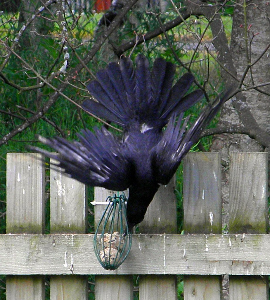 how to get crows to come to you