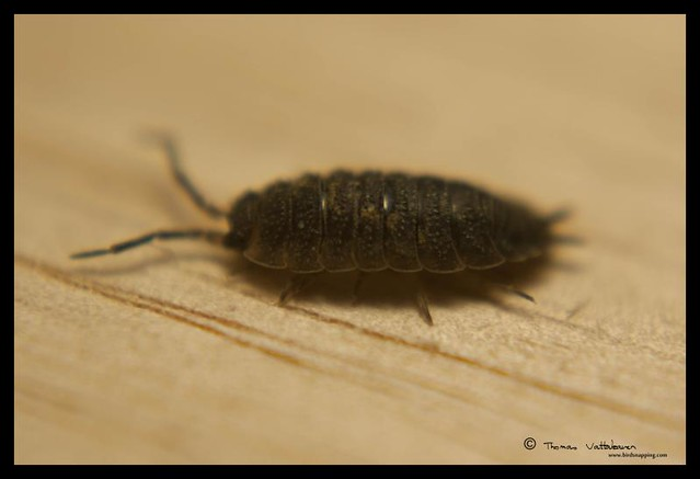 pill bug report Pill bugs & the scientific method date and compile all of your data in order to report your findings pill bugs do not have a waxy cuticle and.