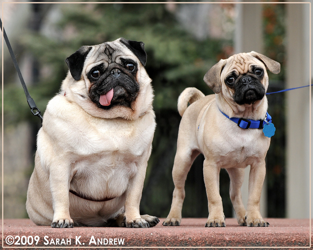 The Worlds Fattest Pug: Portrait Of Pugs In The Park: Otto And Clancy
