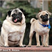 Portrait of Pugs in the Park: Otto and Clancy