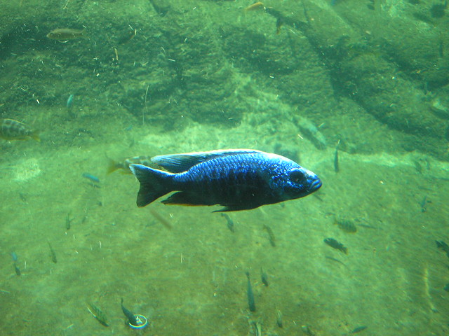 electric blue african cichlid - photo #30