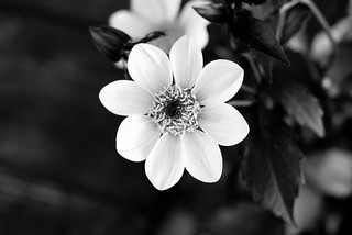 Flower in black and white | by I Should Be Folding Laundry