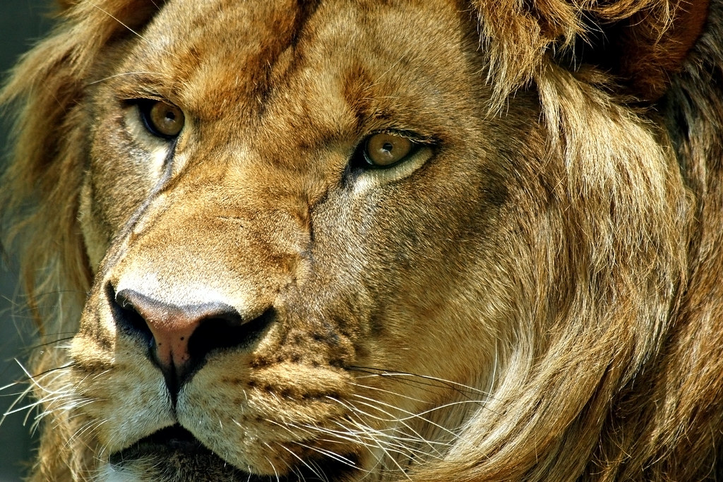 Face of a King | A closeup of a male lion's face | Helen E ...
