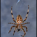 Spider's portrait (Explore)
