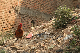 A roaming chicken in Kathmandu | by World Bank Photo Collection