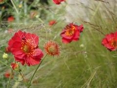 Geum Mrs Bradshaw with Stipa tenuissima | by James's GW Blog
