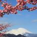 Sakura and Mt. Fuji / 桜(さくら)と富士山(ふじさん)