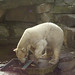 Berlin_zoo_Knut