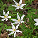 #1 Pro Account Picture: Anemone nemorosa