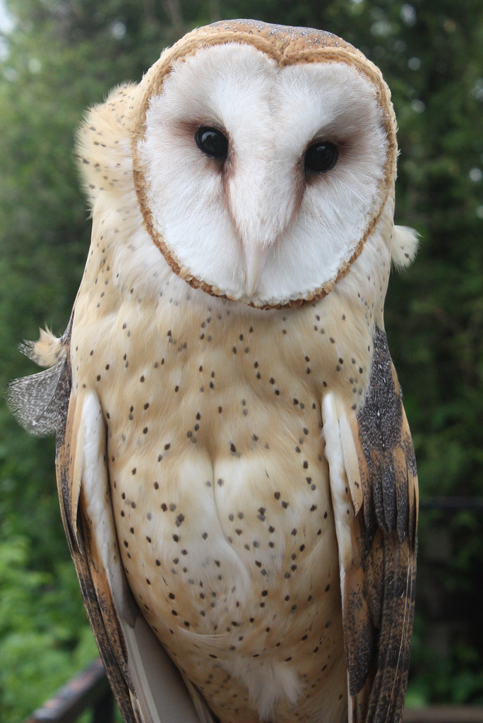 Common Barn Owl (1 of 4) | The Barn Owl (Tyto alba) is the