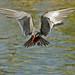 Hovering Inca Tern