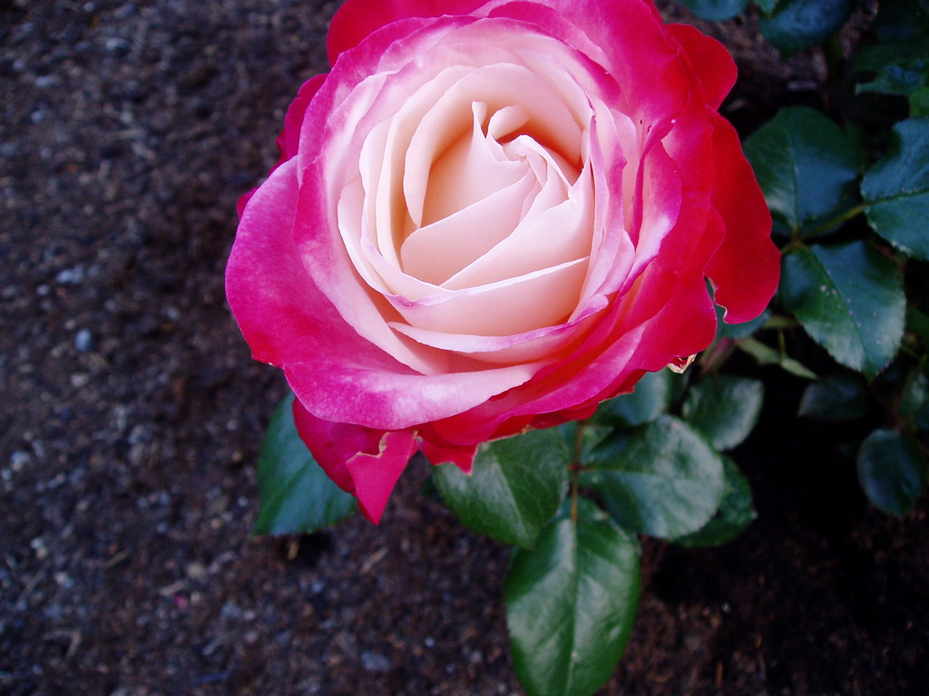 rufus 39 rose nostalgie this is a rose i planted in my. Black Bedroom Furniture Sets. Home Design Ideas