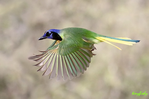 Improved: Green Jay from Texas | by tinyfishy (Gone to Europe)