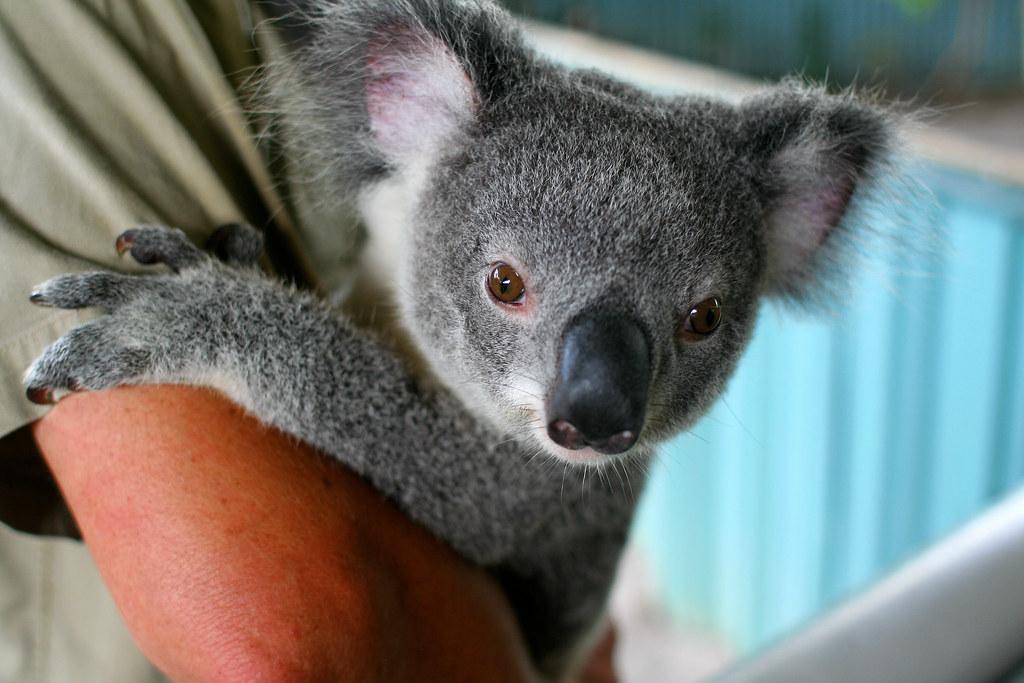 Koala little guy at the koala park taz flickr - Pics of baby koalas ...