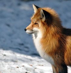 Red Fox | by kingarfer