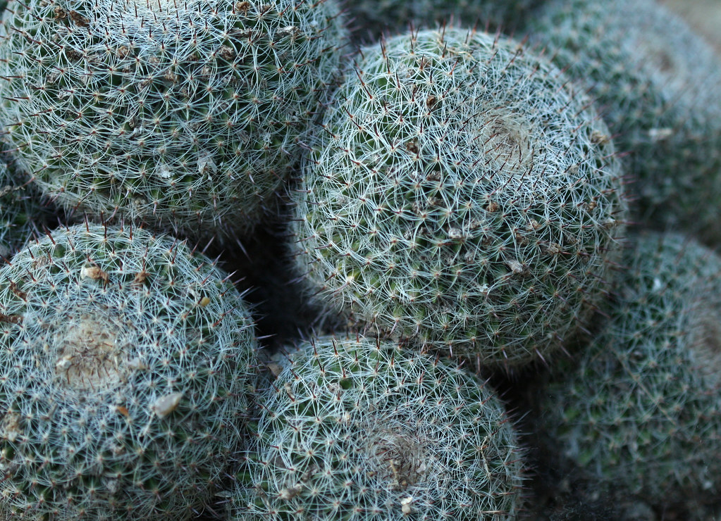 Spiky ball plants | marthasadie | Flickr