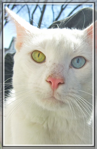 White cat with one blue & one green eye | by mysweetiepiepie