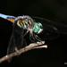 Blue Dasher Dragonfly Male - Pachydiplax longipennis