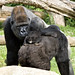 National Zoo's gorilla baby is six months old!