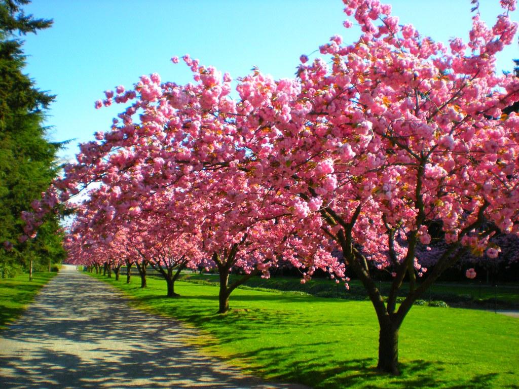 Cherry Trees Rainier Vista University Of Washington Flickr