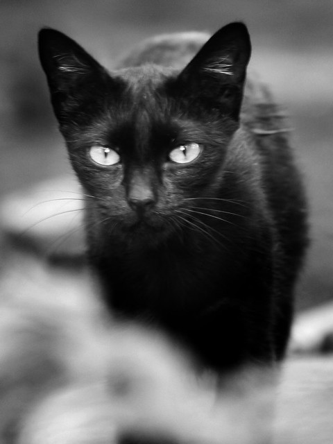 The eyes of black cat they all run and play together for Gatti tumblr