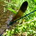 River Jewelwing Damselfly - male (Calopteryx aequabilis)