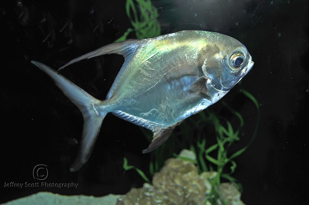 Silver Fish at Florida Aquarium   A photograph of a Silver F…   Flickr