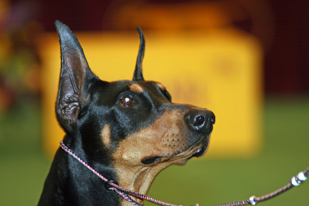 Toy Breed Dog Collars