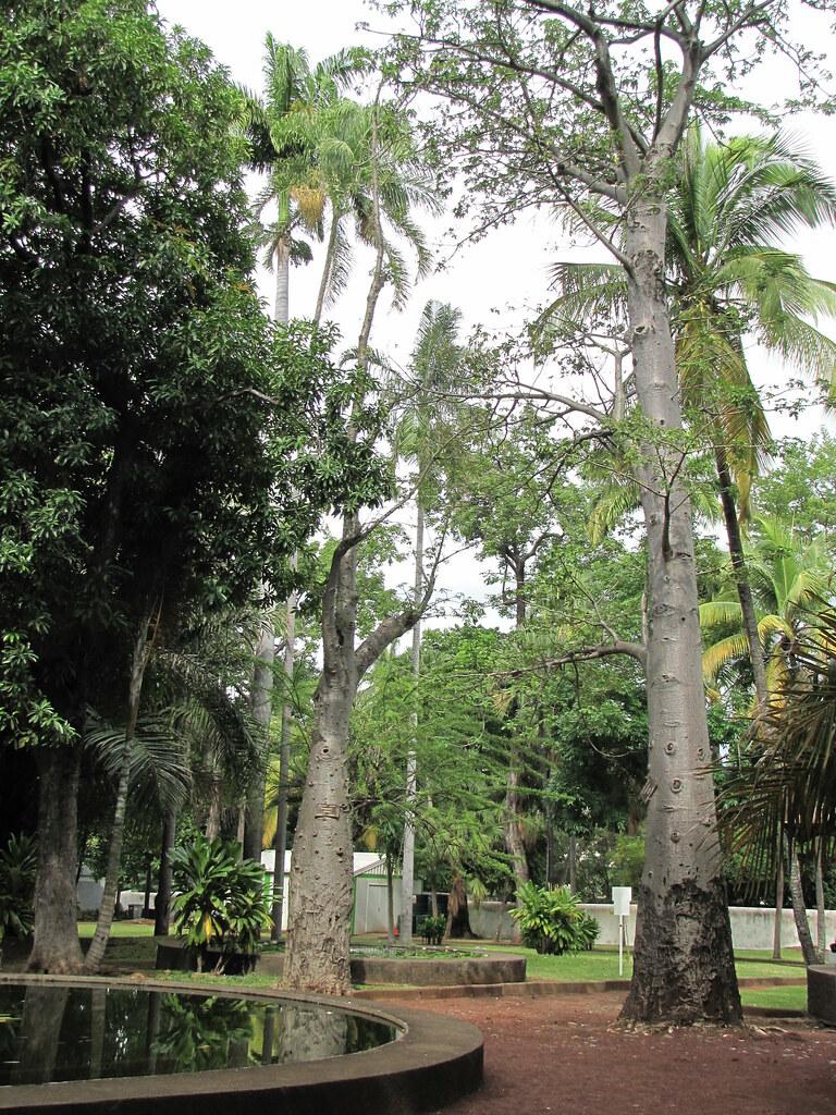 Baobabs au jardin de l 39 tat saint denis ile de la r uni for 9 jardin fatima bedar saint denis