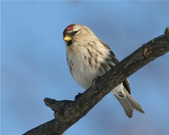 common redpoll | by deerpix