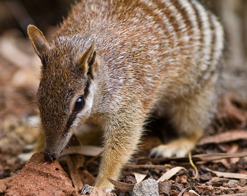 Even More Numbats 1 | by ∞ monkeys with cameras (AKA Marx)