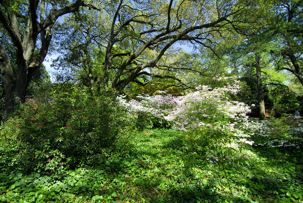 Azaleas Bloom At Hopeland Gardens In Aiken Azaleas Bloom