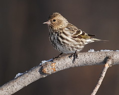 Pine Siskin | by jeffloomis1