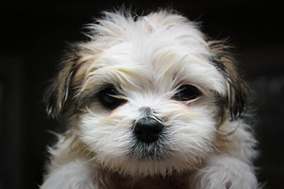 Maltese-Shihtzu puppy after first bath | by wsilver