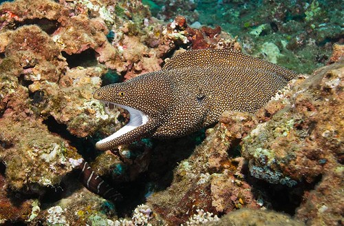 Whitemouth Moray | by cbabbitt