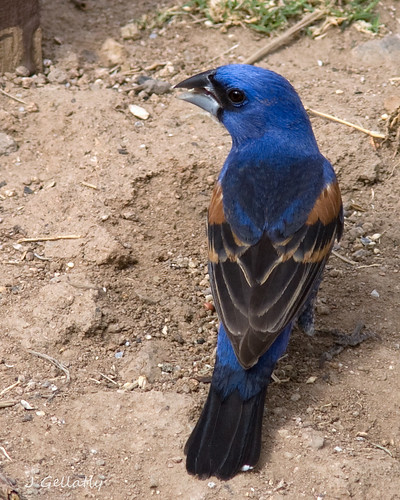 Blue Grosbeak male | by Joan Gellatly