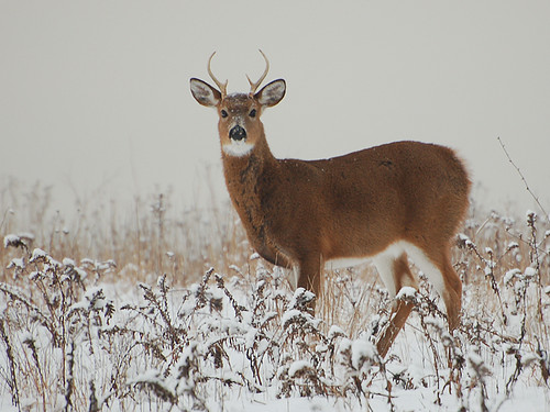 Snow Buck | by cruadinx
