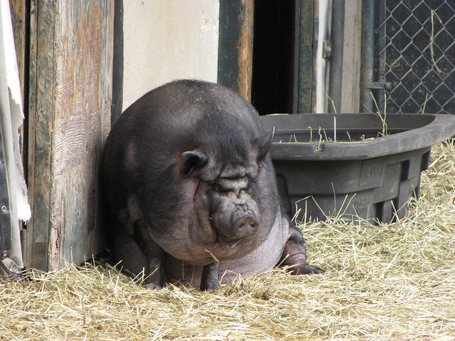 Ugliest Pig In The World Ugly Pig! | Flickr - P...