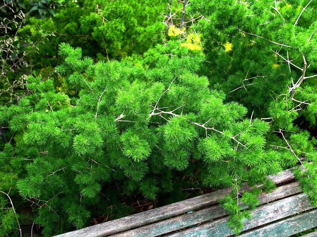 how to get rid of asparagus fern