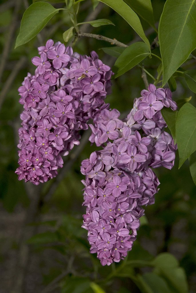 common lilac syringa vulgaris 39 congo 39 photo by ivo m. Black Bedroom Furniture Sets. Home Design Ideas
