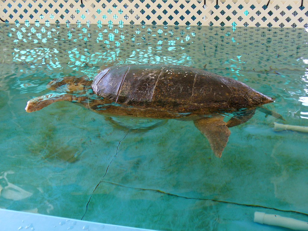 turtle hospital  Theres a sea turtle rescue and ...