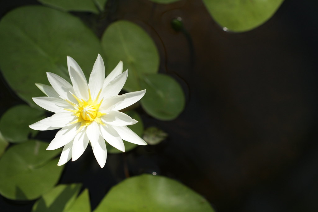 Floating water lily | This pic is taken at Jindai ...