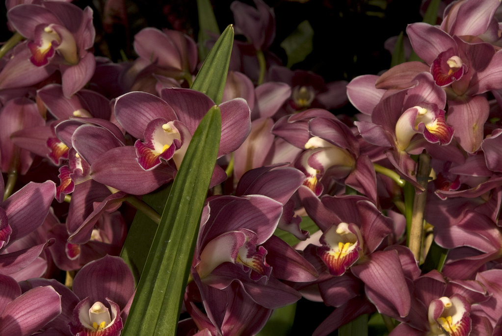 Asian corsage orchid cymbidium happy face 39 amaranth for Orchidee da esterno