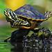 baby turtle balancing act